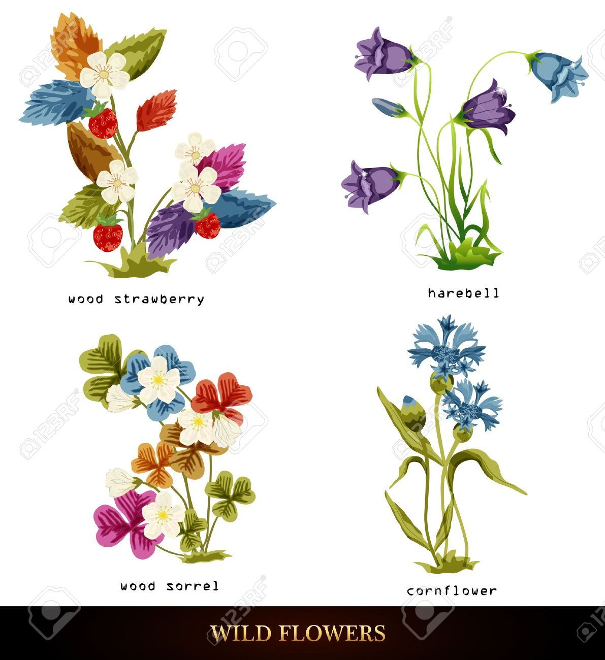 Wood Strawberry, Cornflower, Harebell, Wood Sorrel. Royalty Free.