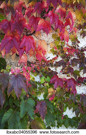 "Stock Images of ""Japanese Creeper, Boston Ivy or Woodbine."