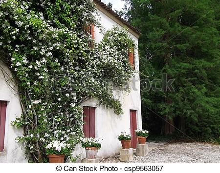 Picture of Woodbine rose on the wall old house csp9563057.