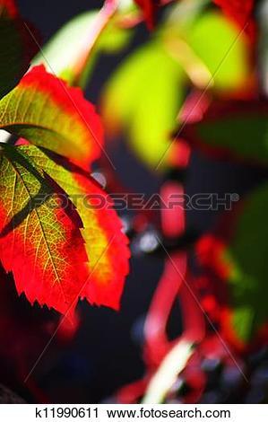 Stock Photography of Japanese creeper, Boston ivy, Grape ivy.