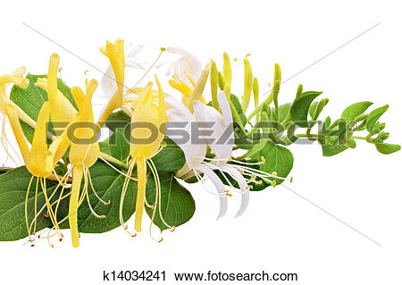 Stock Photography of Flowering white.