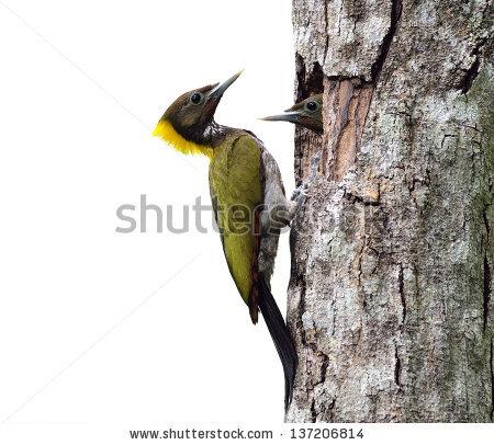 """big_woodpecker"" Stock Photos, Royalty."