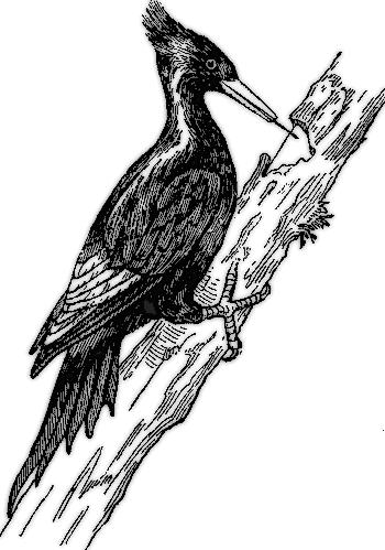 Woodpecker Bird Clipart (36+).