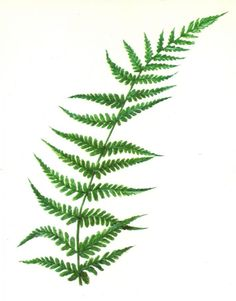 Flat Flower, Wood Fern II.