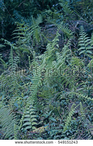 Fern Stock Images, Royalty.