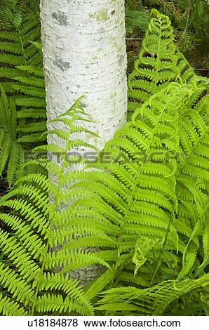 Pictures of Wood fern, (ryopteris spp.) and aspen tree trunks.