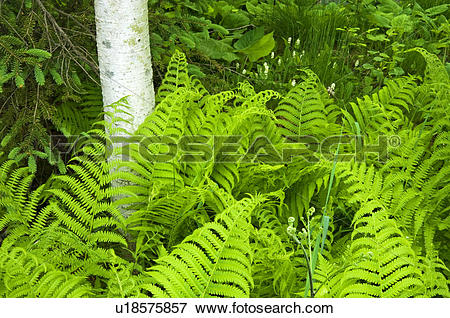 Picture of Wood fern, (ryopteris spp.) and aspen tree trunks.