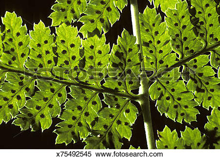 Stock Image of Closeup of Intermediate Wood Fern, Dryopteris spp.