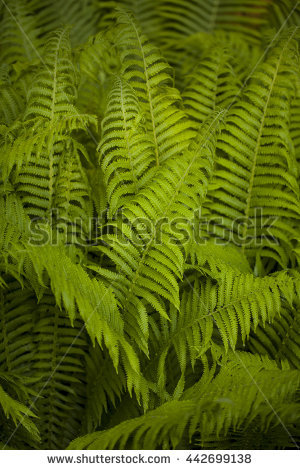 Dryopteris Stock Photos, Royalty.