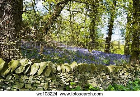 Stock Photo of Bluebell Woods, Windmill Hill, Woodhouse Eaves.