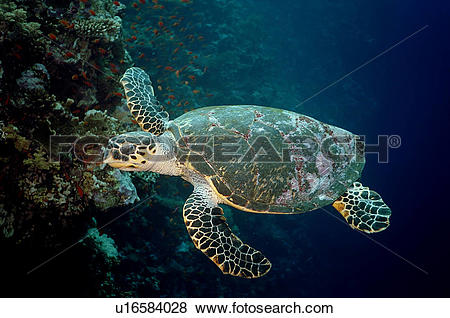 Pictures of Hawksbill turtle (Eretmochelys imbricata) Species.