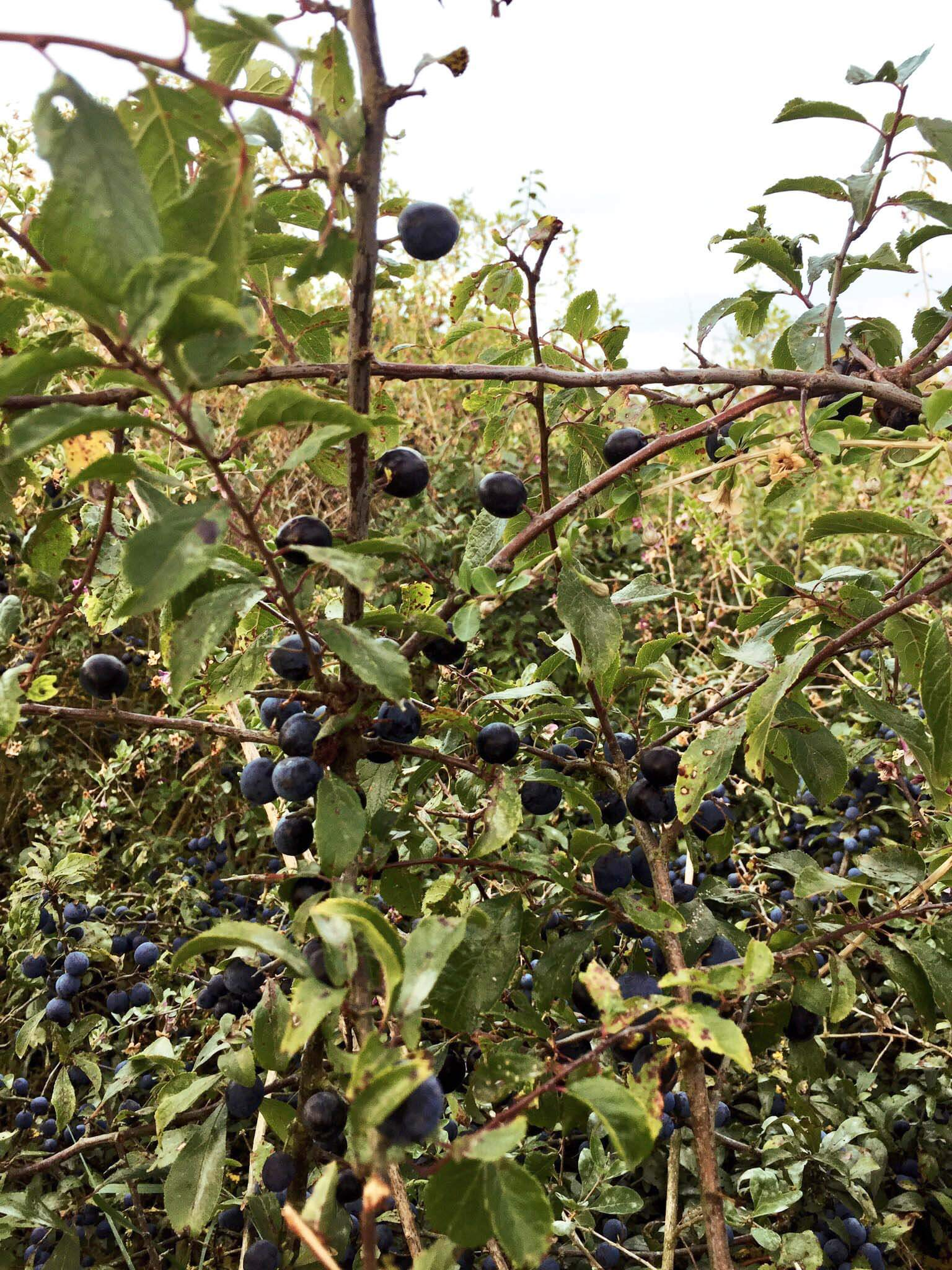 Making Sloe Gin Part 1: Hunting for Sloes.