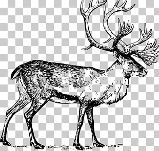 9 Boreal woodland caribou PNG cliparts for free download.