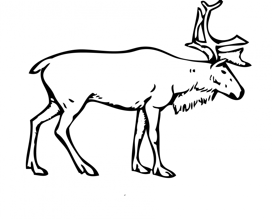 Finnish forest reindeer Porcupine caribou Arctic Boreal.