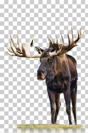 2 migratory Woodland Caribou PNG cliparts for free download.