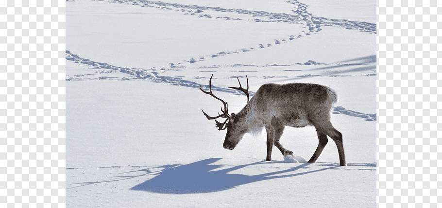 Santa Claus Boreal woodland caribou Deer Dog Animal track.