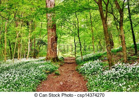 Picture of English woodland scene with wild garlic.