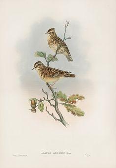 17 Best John Gould Song Birds images.