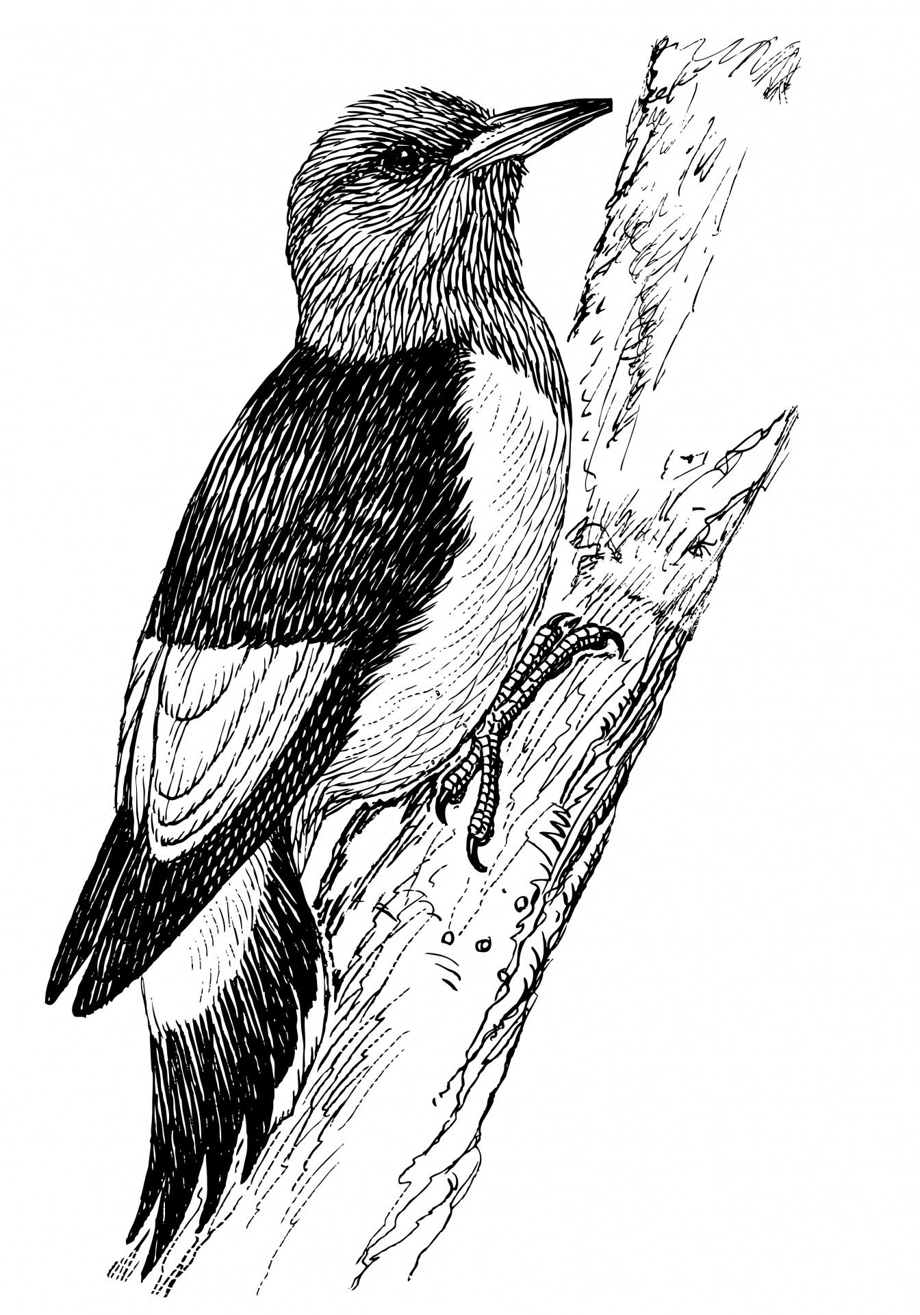 Woodpecker,bird,line art,clipart,clip art.