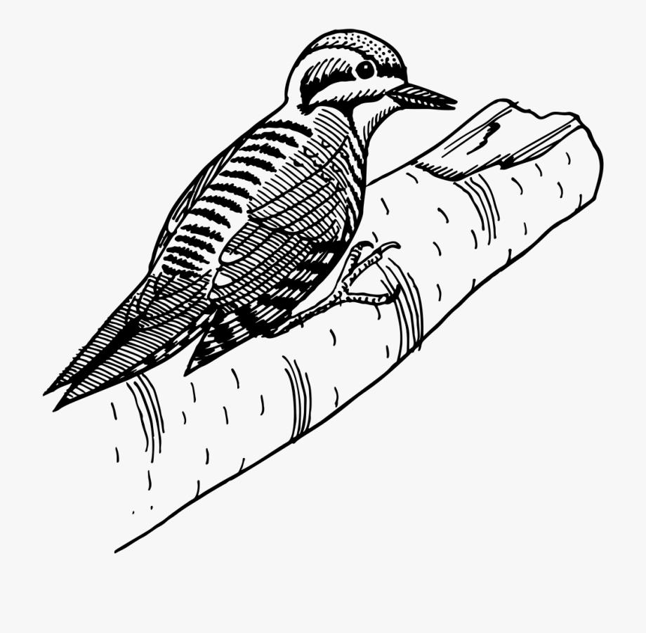 Three Toed Woodpecker Line Art.