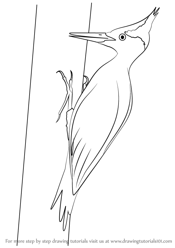 Learn How to Draw an Imperial Woodpecker (Woodpeckers) Step.