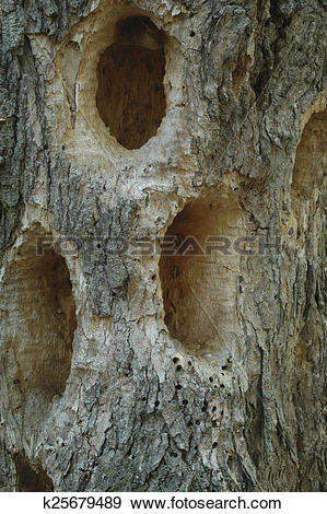 Stock Photograph of Woodpecker holes k25679489.