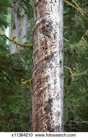 Stock Photography of Tree with woodpecker holes x11364210.