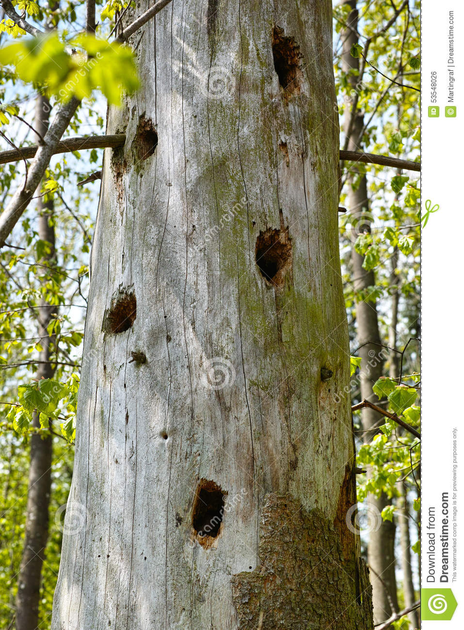 Woodpecker Holes In Tree Trunk Stock Photo.