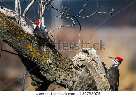 Pileated Woodpecker Hole Stock Photos, Royalty.