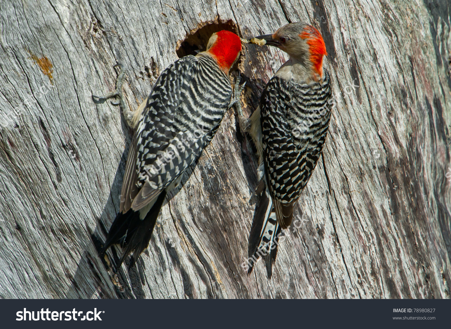 Mom Dad Woodpecker Bring Food Babies Stock Photo 78980827.