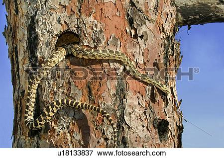 Picture of Gopher snake (Pituophis catenifer) hunting in.