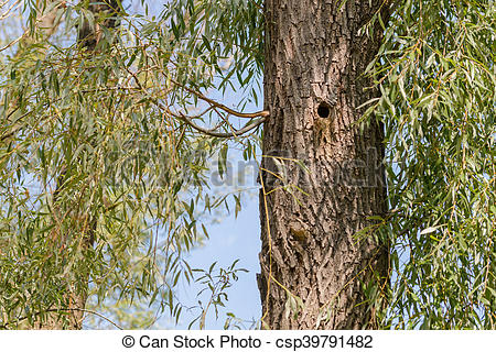 Pictures of Woodpecker Hole in a Willow.
