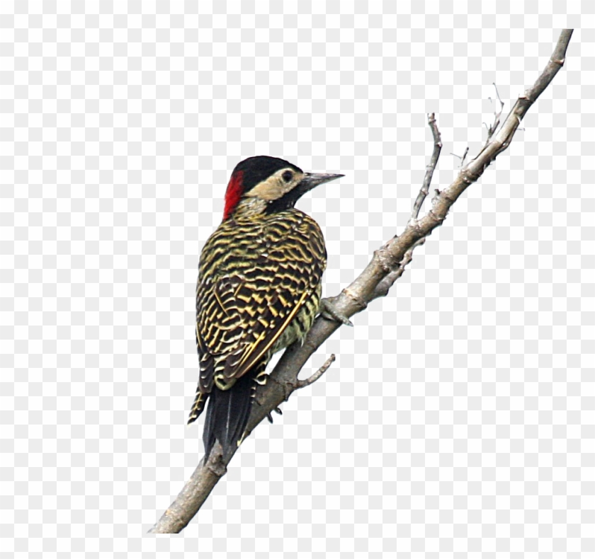 Woodpecker Png.