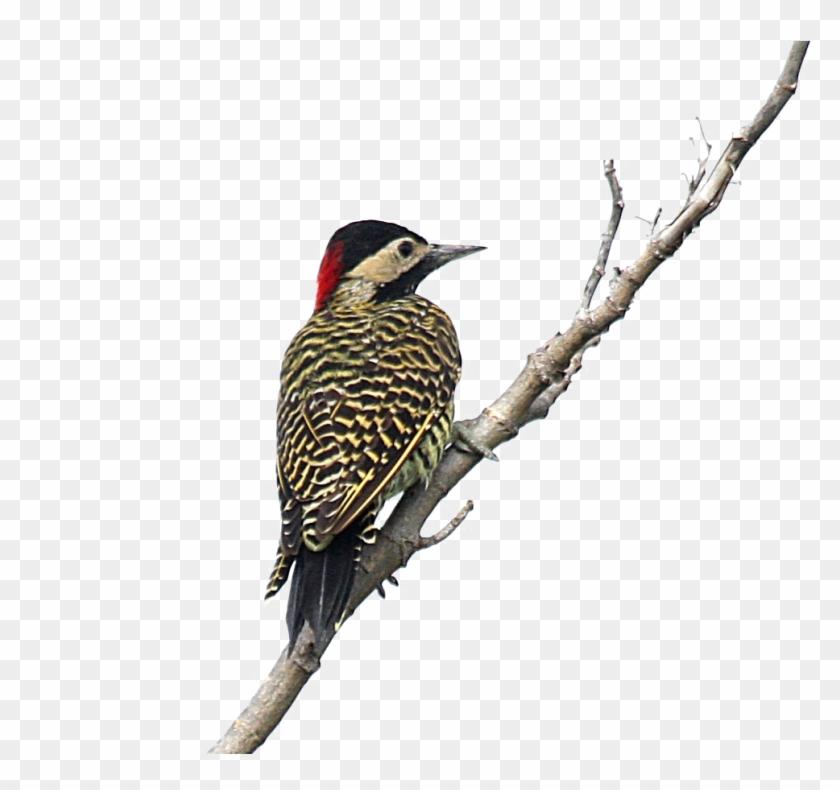 Woodpecker Png.