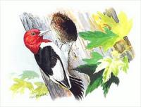 Free Woodpeckers Clipart.