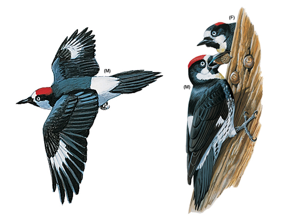 Clip Art of Woodpeckers.