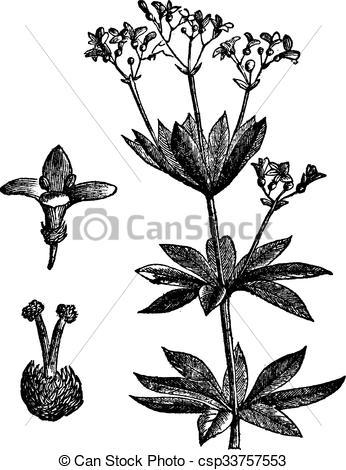 Clipart Vector of Asperula odorate or Sweet woodruff vintage.