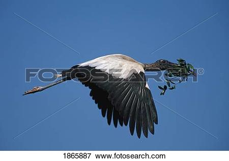 Picture of Wood stork flying to nest carrying greenery 1865887.