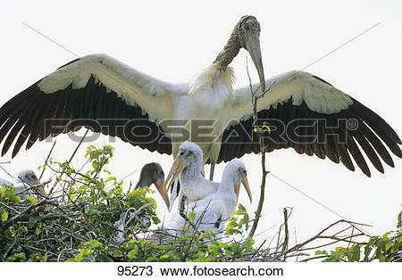 Stock Photo of Wood Stork with squabs in the nest / Mycteria.