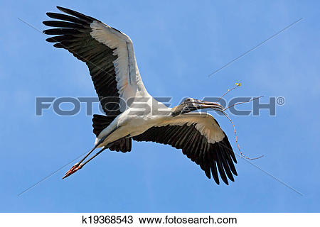 Stock Photo of Wood Stork Carrying Nest Material k19368543.