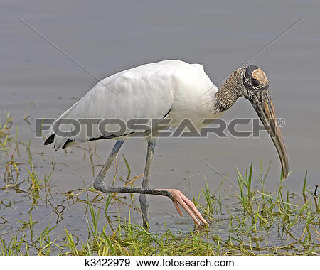 Stock Photograph of Wood Stork k3422979.