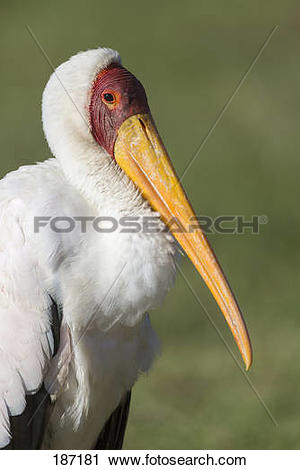 Stock Photography of Yellowbilled Wood.