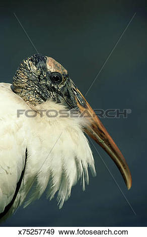 Stock Photograph of wood stork, mycteria americana, feathers.