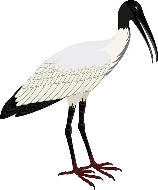 Wood Stork Clip Art, Vector Images & Illustrations.