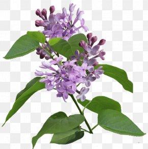 Flowering Plant Purple Violet Lilac Lavender, PNG.
