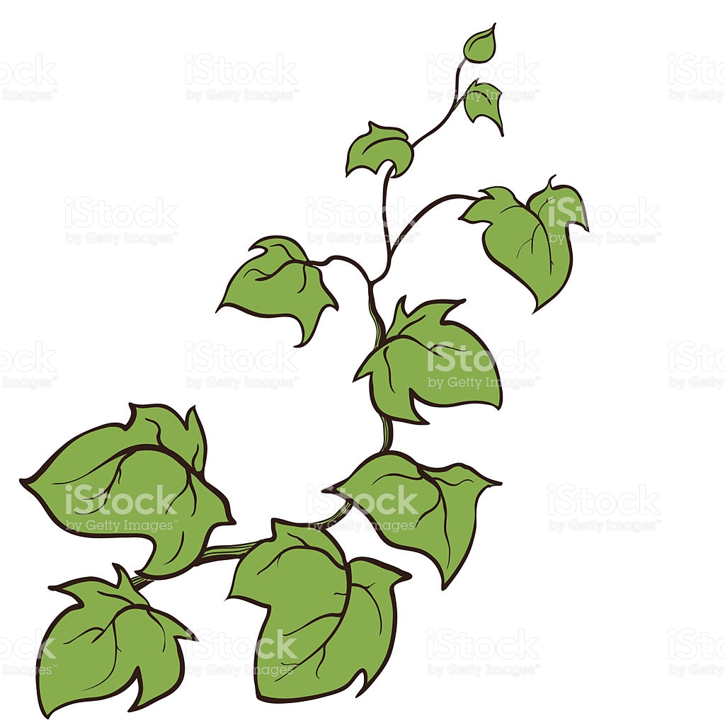 Vector Hand Drawn Sketch Ivy Groundcreeping Woody Plant stock.