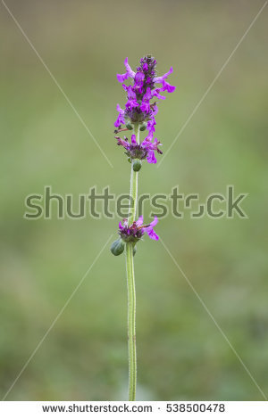 Bishopwort Stock Photos, Royalty.