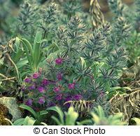 Picture of Wood Betony (Stachys officinalis).