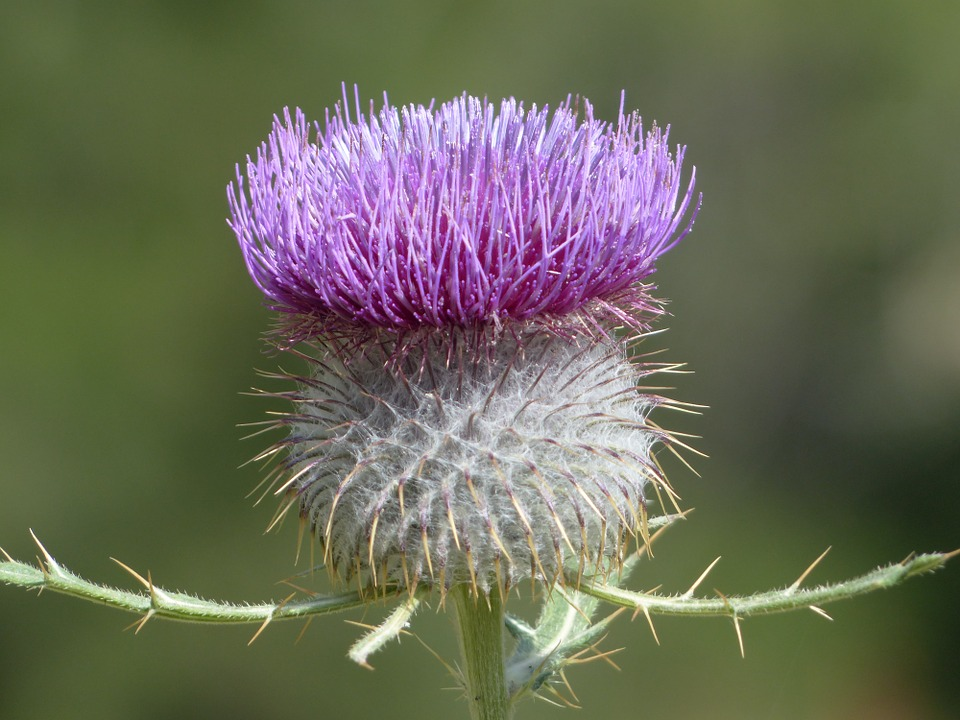 Purple, Thistle, Flower.