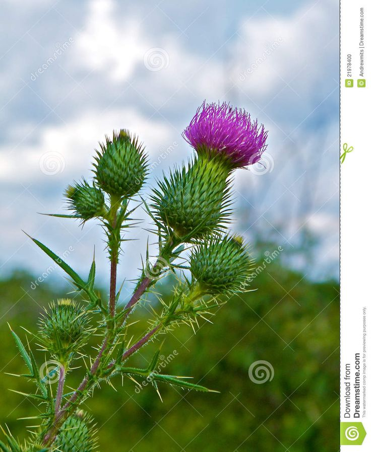 78+ ideas about Thistle Plant on Pinterest.
